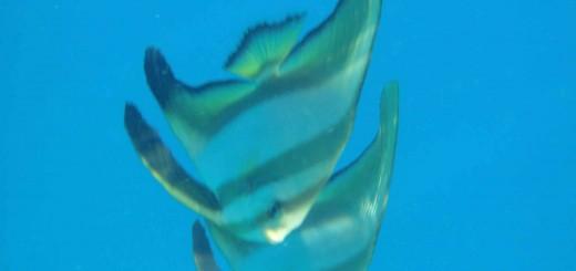 fish diving