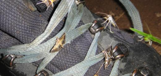 Hiking boot with yellow and green moths sipping moisture from it.