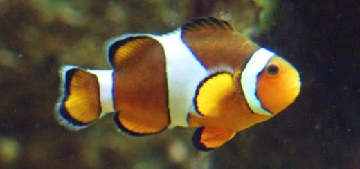 Clownfisch_(Amphiprion_ocellaris)