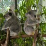 pair of koalas at australia zoo