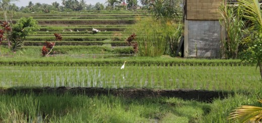 Rice paddies and a house in Ubud, Bali