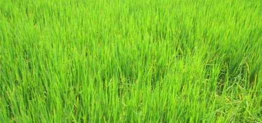 young rice, green shoots