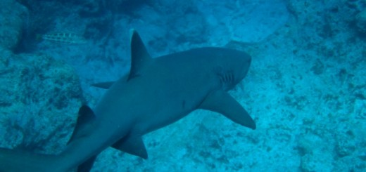 Back_of_Whitetip_Reef_shark