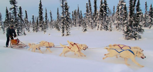800px-White_huskies_dog_sledding