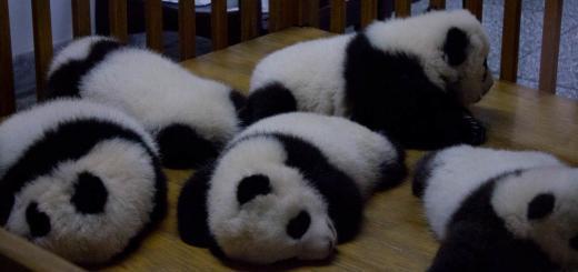 Chengdu Baby Pandas 2
