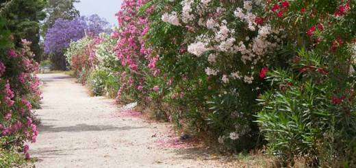 avenue of flowers in the Al-Bass historical site at Tyre, Lebanon.