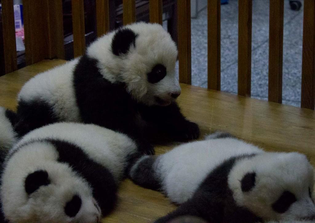 Baby pandas in their playpen at Chengdu Panda Breeding & Research Base.