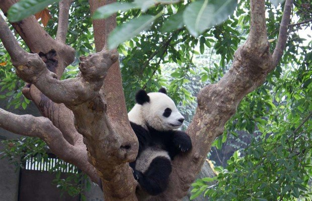 Panda in a tree, Chengdu Panda Breeding & Research Center.