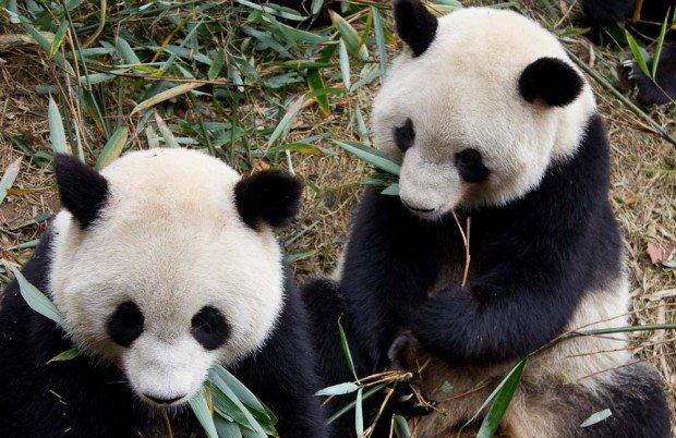 Pandas eating bamboo in Chengdu, China.