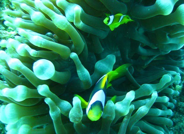 Clownfish in an anemone, Red Sea, Dahab.