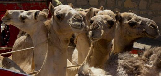 How-Many-Camels