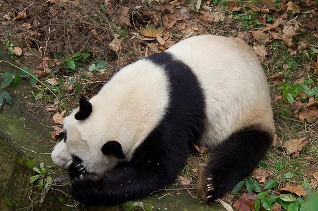 Panda having a nap -- Chengdu Panda Research & Breeding Center, China.