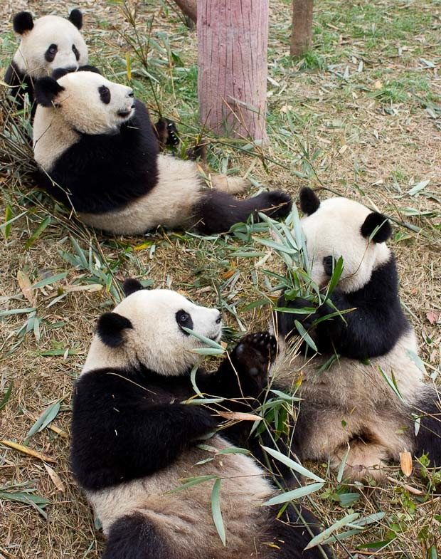 Pairs of juvenile pandas, Chengdu, China.