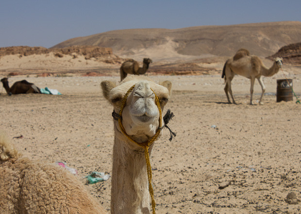 Family travel Egypt: camels in a Bedouin village in the Sinai Desert.
