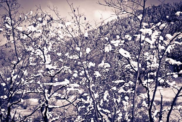 snow-clad branches against the pine trees, between Banko and Septemvri.