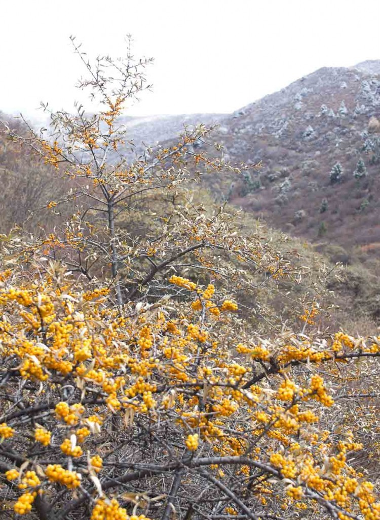 Golden berries and snow-dusted leaves outside Songpan.