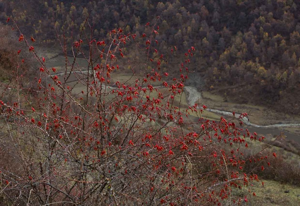 Scarlet berries over Songpan.