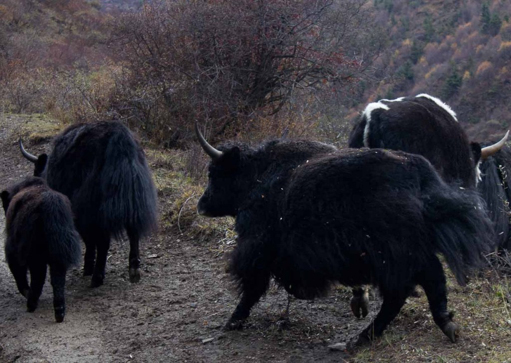 Grazing yaks block our path while horse trekking Songpan.