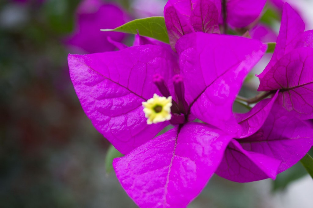 Purple flower in guesthouse gardens, Tiger Leaping Gorge.