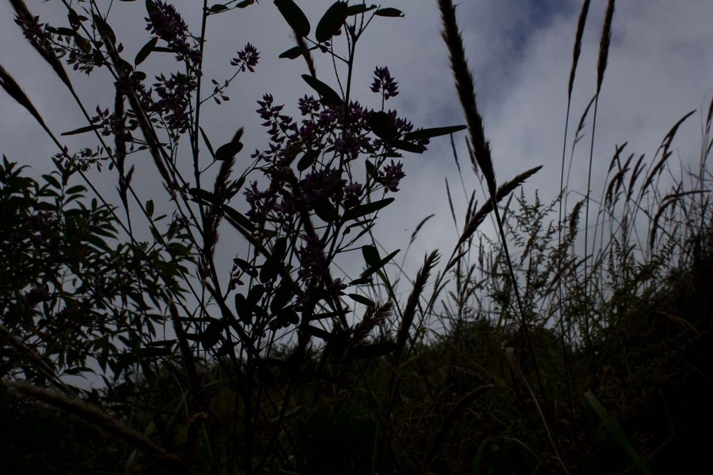 Grasses against late sky in Tiger Leaping Gorge.
