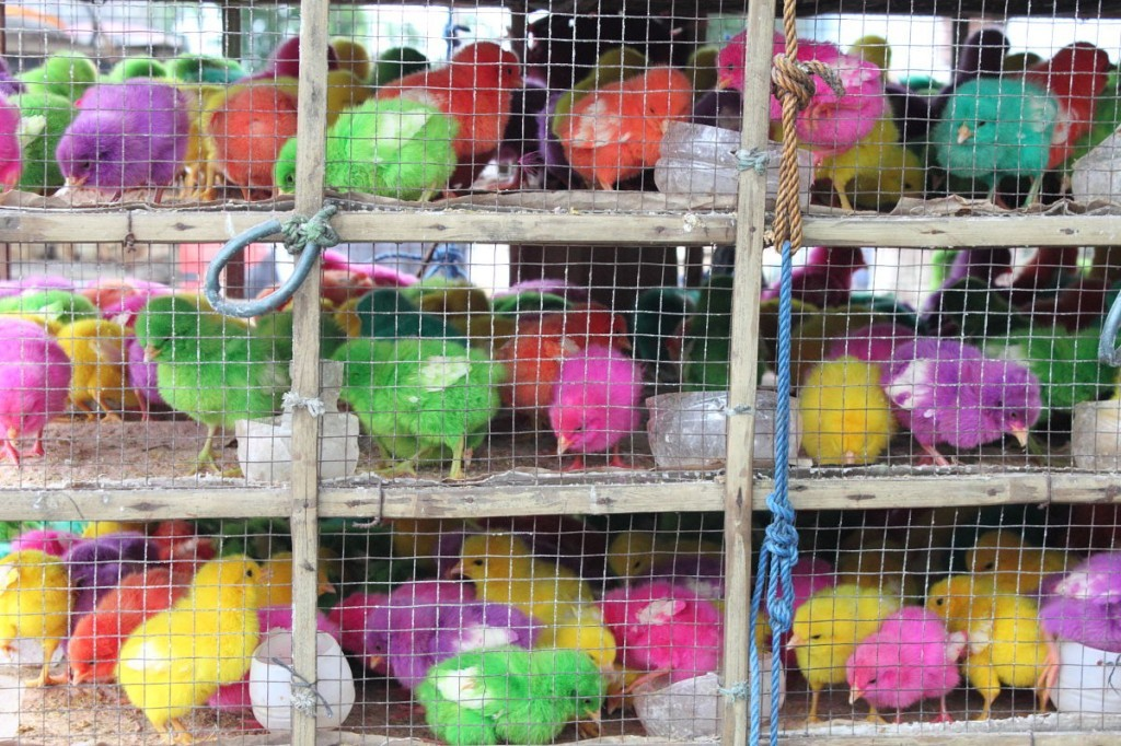 Chicks dyed orange, pink, green, purple and yellow for sale at a Bali cremation.
