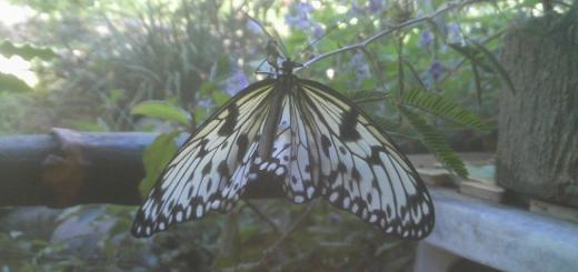 butterfly_puerto_princesa_palawan_philippines