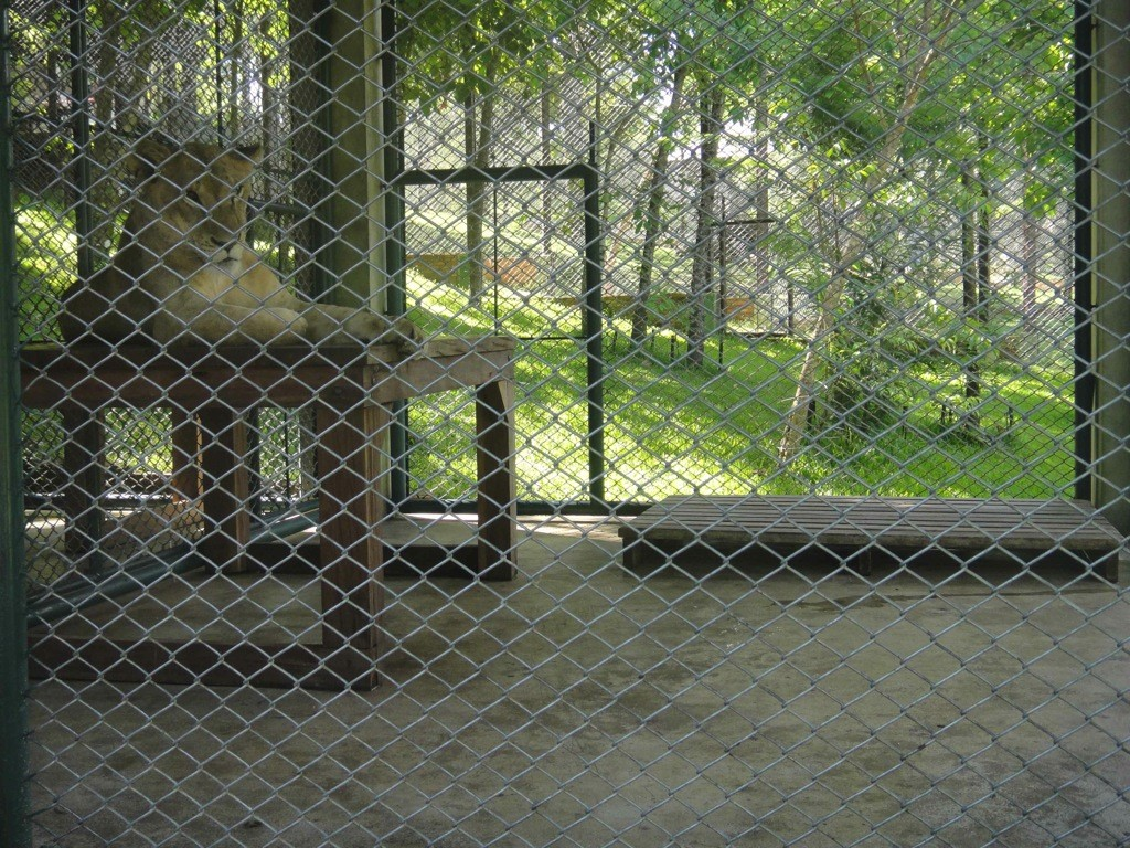 Lioness sits on table in concrete floored cage, Tiger Kingdom, Chiang Mai, Thailand.