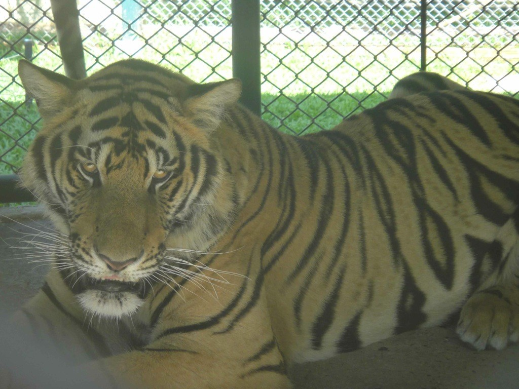 Caged tiger, Tiger Kingdom, Chiang Mai, Thailand
