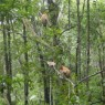 proboscis-monkeys-1