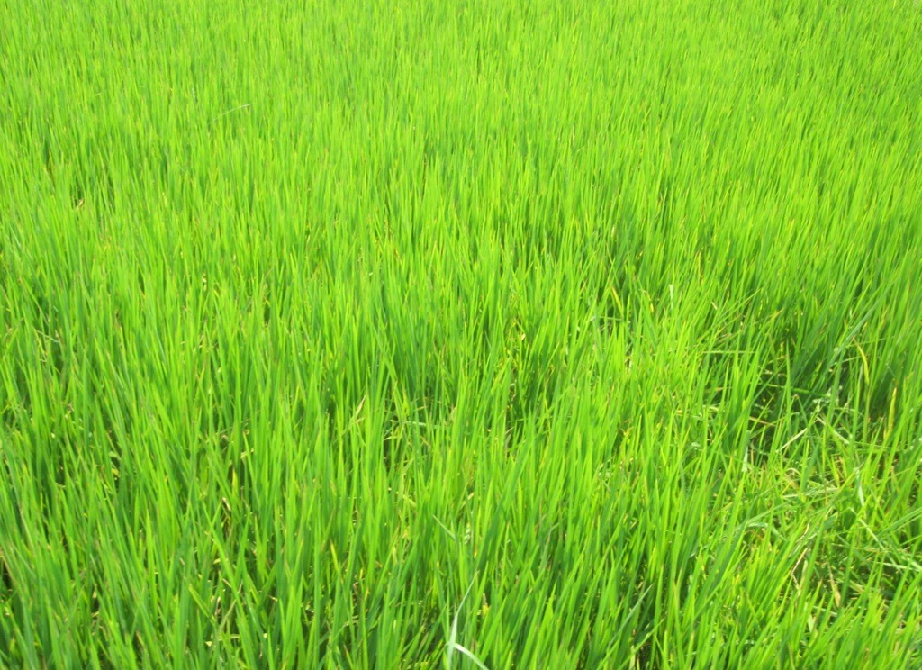 close-up of field of bright green young rice, Hoi An, Vietnam.