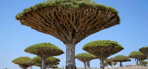 Dragonblood trees on Socotra, Yemen.