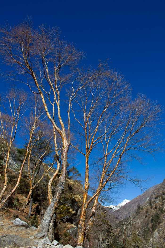 Everest Base Camp: red birch trees in the Gokyo Valley.