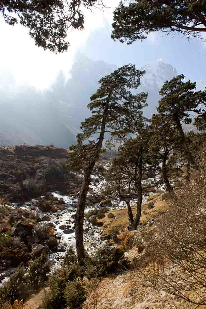 Everest Base Camp trek: gnarled junipers hover over icy stream en route to Thame.