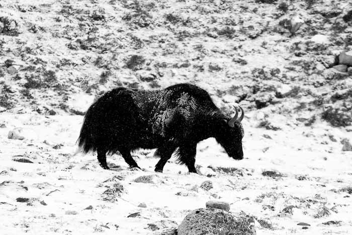 Yak returning from high pastures in a snowstorm near Gorak Shep, Nepal.