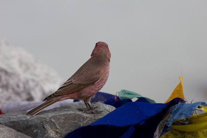 Everest Base Camp: pink bird resting on prayer flags.