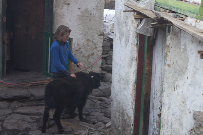 Everest Base Camp trek with kids: petting a baby yak.