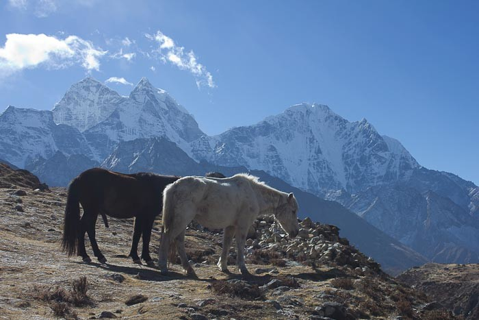 Everest Base Camp trek - Horses grazing on a ridge outside Pheriche.