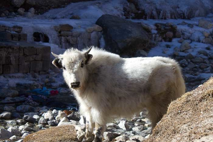 A baby yakalo. Just one of many distractions when doing the Everest Base Camp trek with kids.