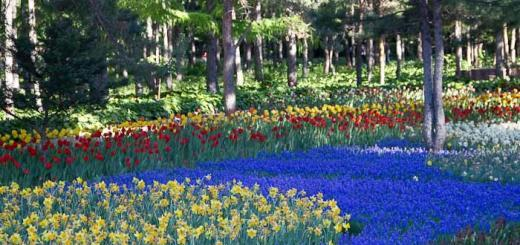 Daffodils and tulips at the botanical gardens, harbin.