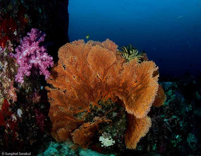 Coral in the Similan islands, by Sunphol Sorakul.