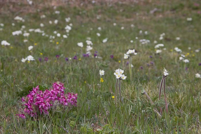 Wildflowers in Mongolia in June.