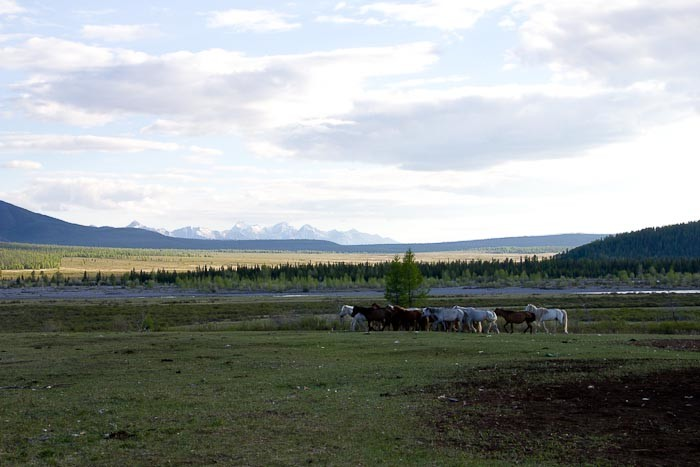 Herd of horses against mountains - Mongolia.
