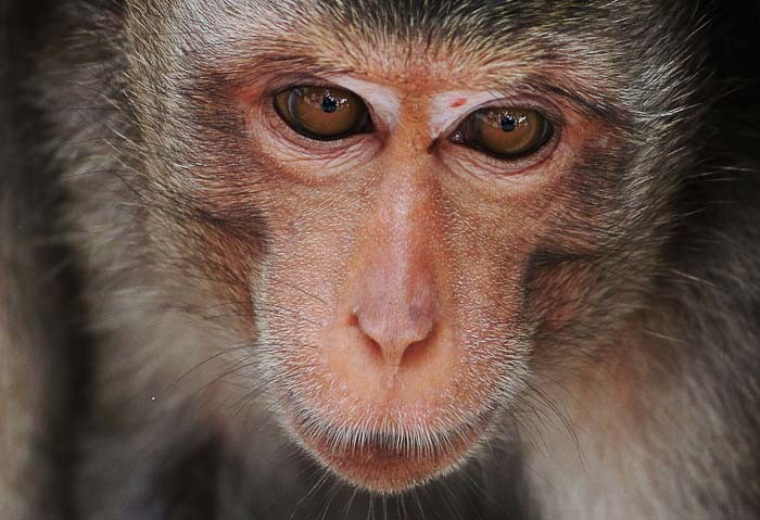 Close up shot of monkey in Thailand by Eva Swensen.