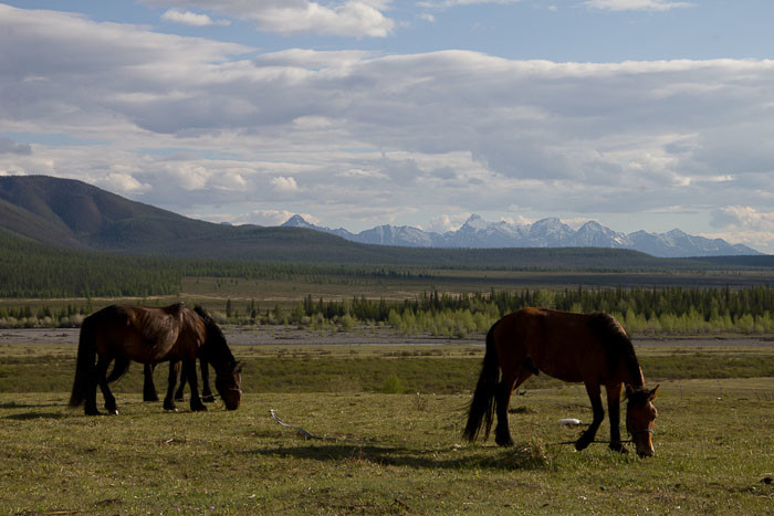 horses grazing against the mountains.