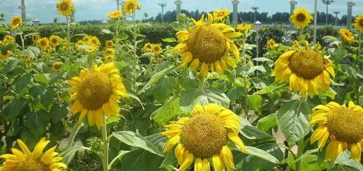 Sunflowers at Changi Airport image by Rudy Herman on Flickr.
