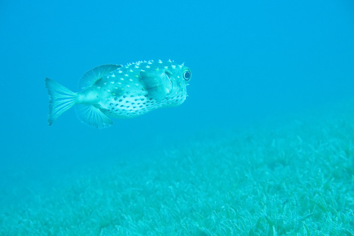 Diving Dahab - a pufferfish swims over seagrass at Lighthouse.