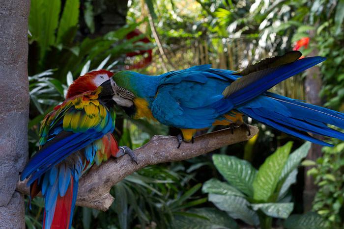 Kissing parakeets in Ubud, Bali.