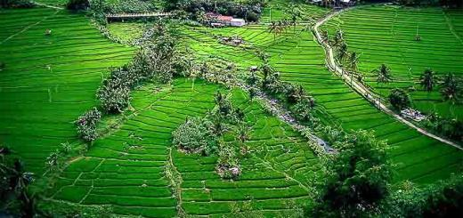Ricefields in Bali