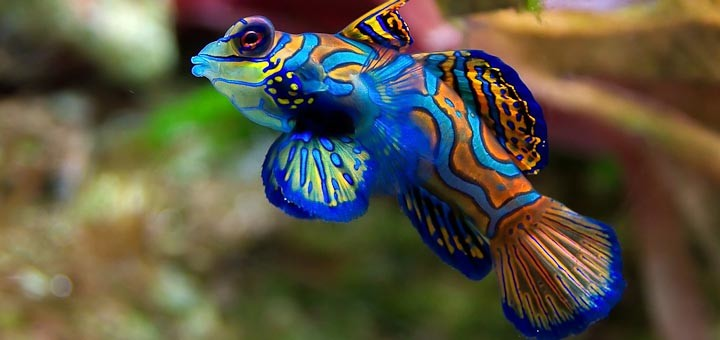 Gaudily coloured male mandarinfish.