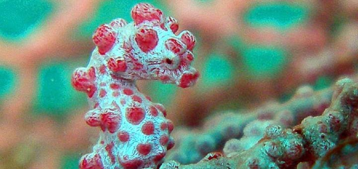 Pygmy seahorse, camouflaged in a gorgonia.
